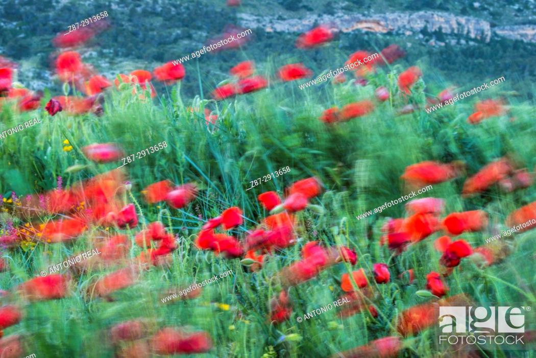 Imagen: Poppies (Papaver rhoeas). Almansa. Albacete. Spain.