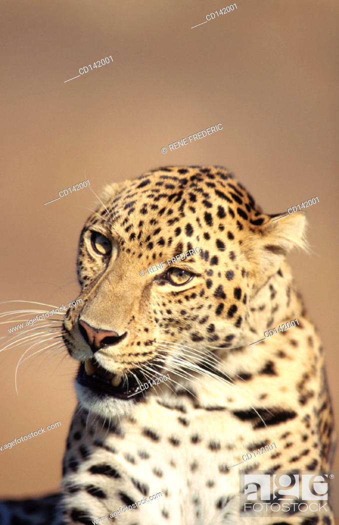 Stock Photo: Leopard (Panthera pardus), captive. Africa.