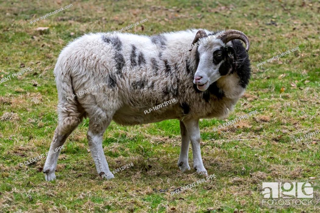 Stock Photo: Heidschnucke ewe, moorland sheep breed from northern Germany grazing in field.