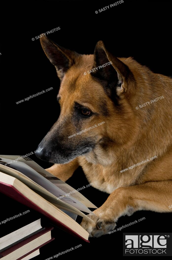 Stock Photo: German Shepherd dog reading a book.