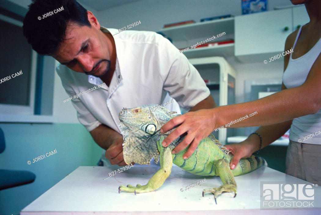 Stock Photo: Taking care of a Iguana's claws. CRARC (Centre de Recuperació d'Amfibis i Reptils de Catalunya) lab, Masquefa, Barcelona province, Spain.