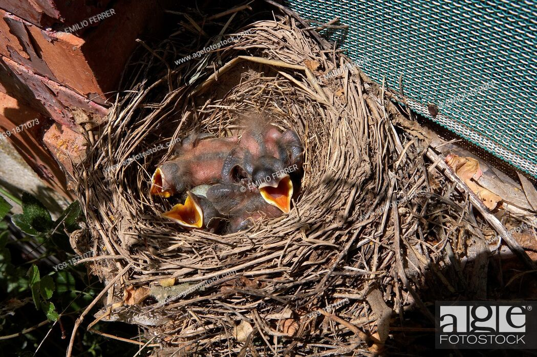 Stock Photo: Nest with chick of blackbird  LLeida  Spain.
