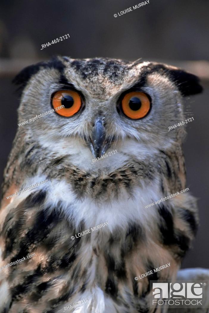 Stock Photo: European eagle owl Bubo Bubo, New Forest Owl Sanctuary, England, United Kingdom, Europe.