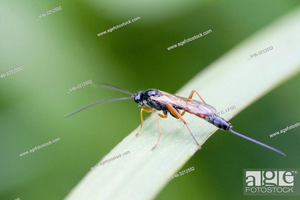 Stock Photo: Parasitoid wasp, Ichneumon sp. Black wasp with red wings and legs and extremely long ovipositor. Significant parasitoids of othe invertebrates.