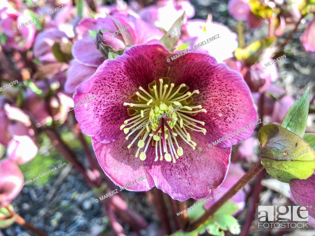 Stock Photo: Lenten rose (Helleborus orientalis) is a perennial flowering plant and species of hellebore in the buttercup family, Ranunculacea.