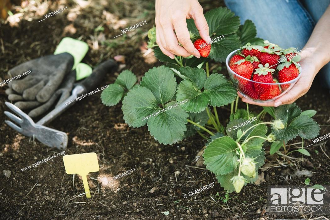 Imagen: Close-up of mid adult woman hands picking strawberries in garden.