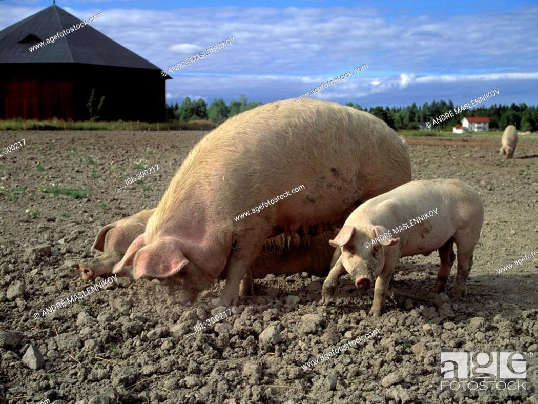 Stock Photo: Pigs.