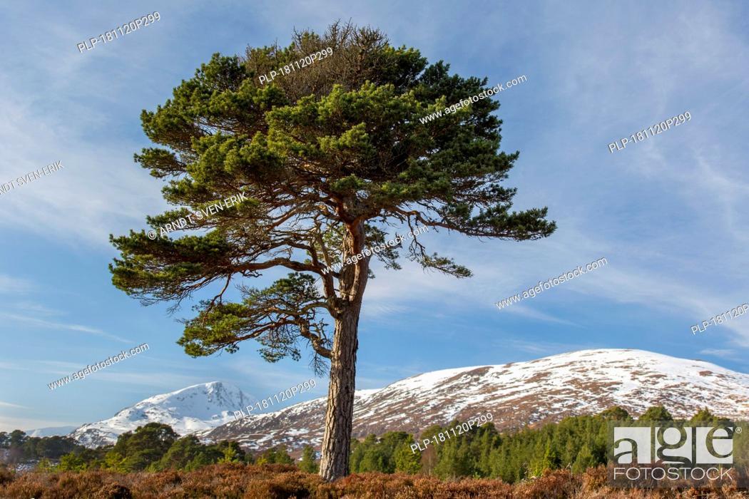 Stock Photo: Solitary native Scots pine (Pinus sylvestris) in Glen Affric in winter, Inverness-shire, Scottish Highlands, Highland, Scotland, UK.
