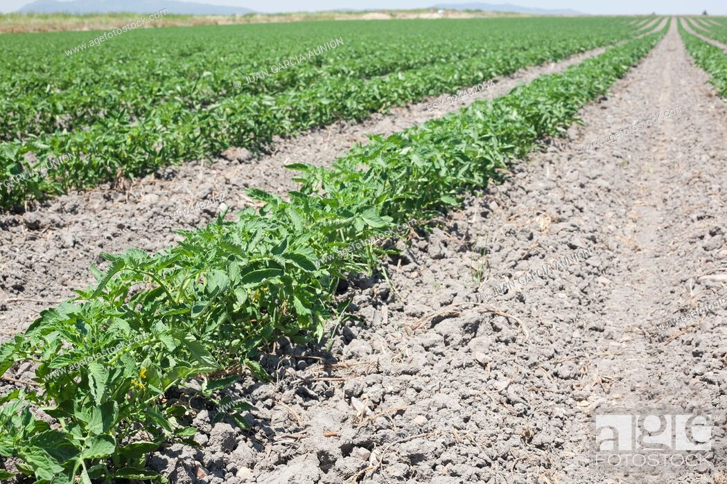 Imagen: Furrows of young tomatoes plants growing at Vegas Altas del Guadiana, Spain.