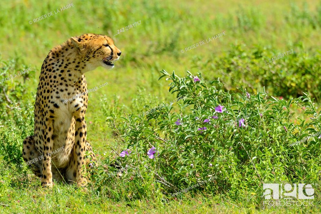 Imagen: Cheetah (Acinonyx jubatus). Ngorongoro Conservation Area (NCA). Tanzania.