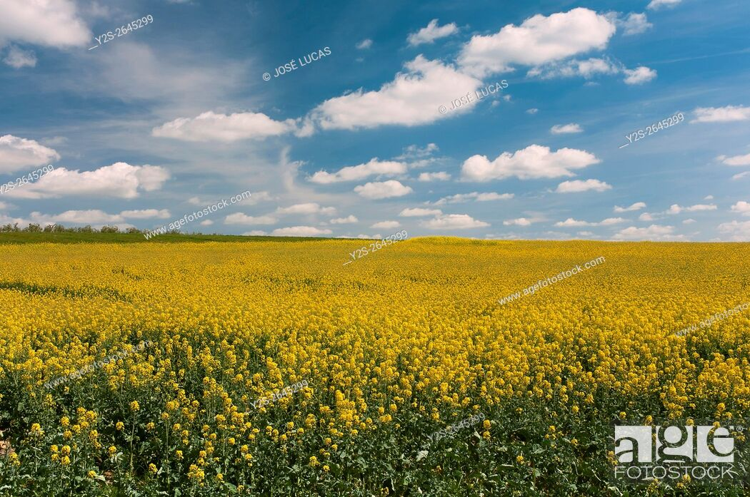 Stock Photo: Rape cultivation, Paradas, Seville province, Region of Andalusia, Spain, Europe.