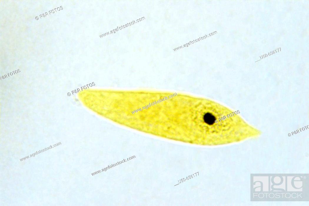 Euglena, Euglenophytes protist, 1000 X, optical microscope