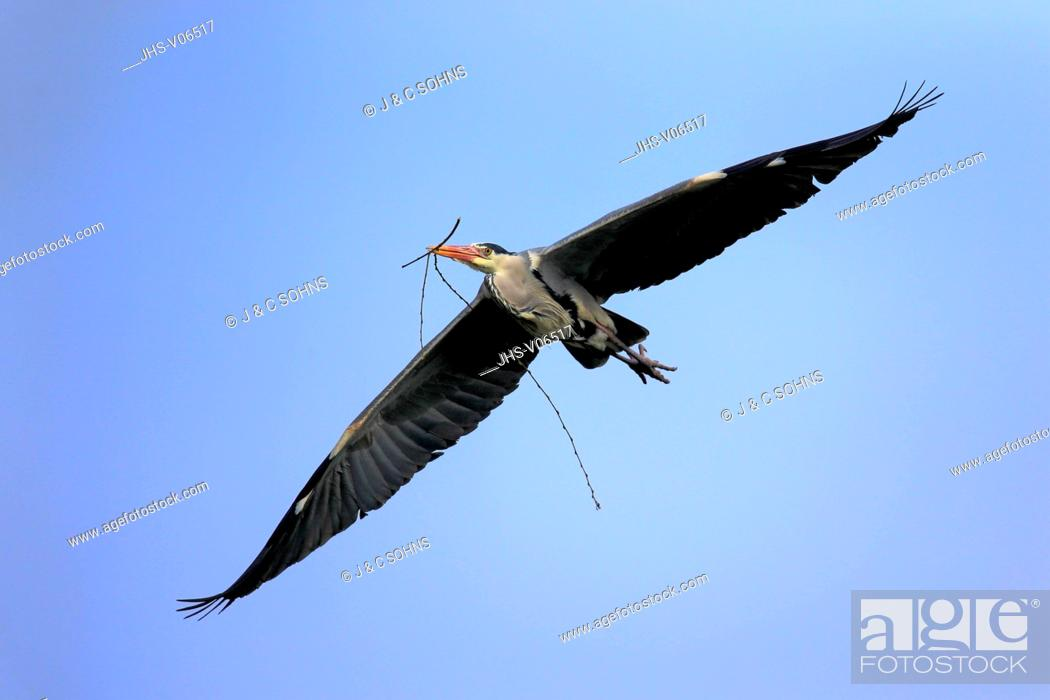Stock Photo: Grey Heron, (Ardea cinerea), adult flying in breeding cloth, Luisenpark Mannheim, Mannheim, Germany, Europe.