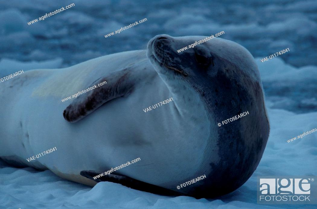 Stock Photo: Seal Resting On Ice.