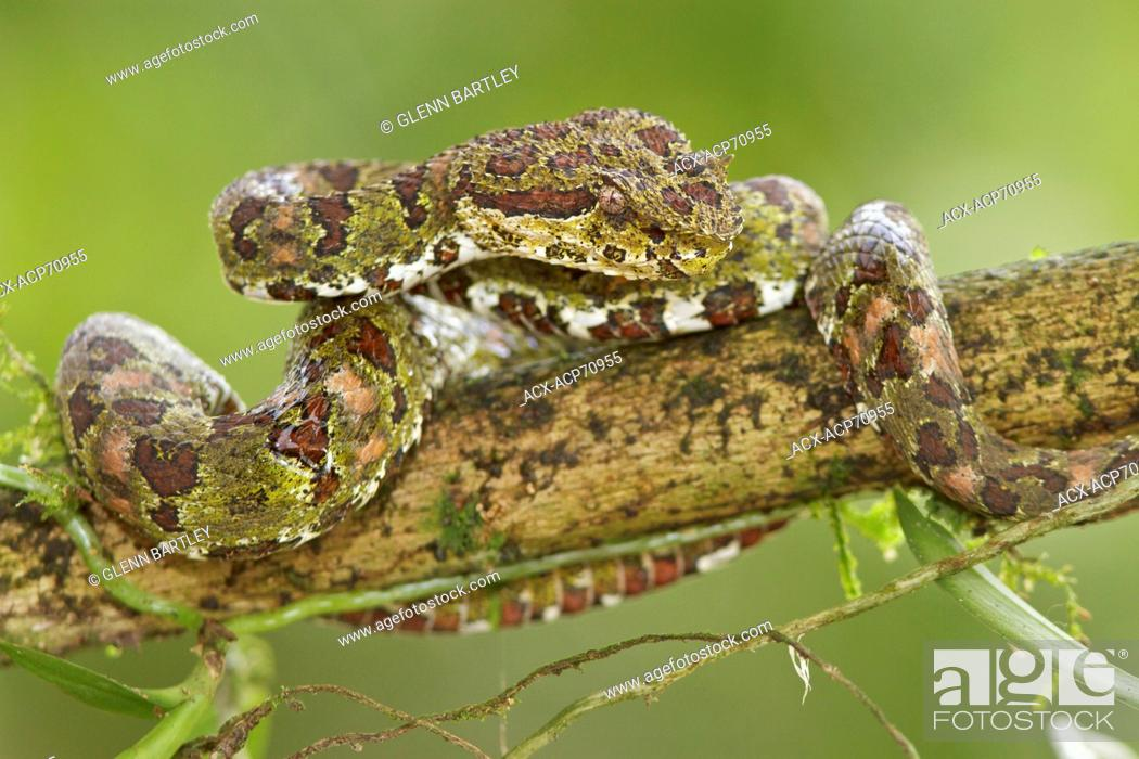 Stock Photo: Eyelash Viper, Bothriechis schlegelii, perched on a branch in Costa Rica, Central America.