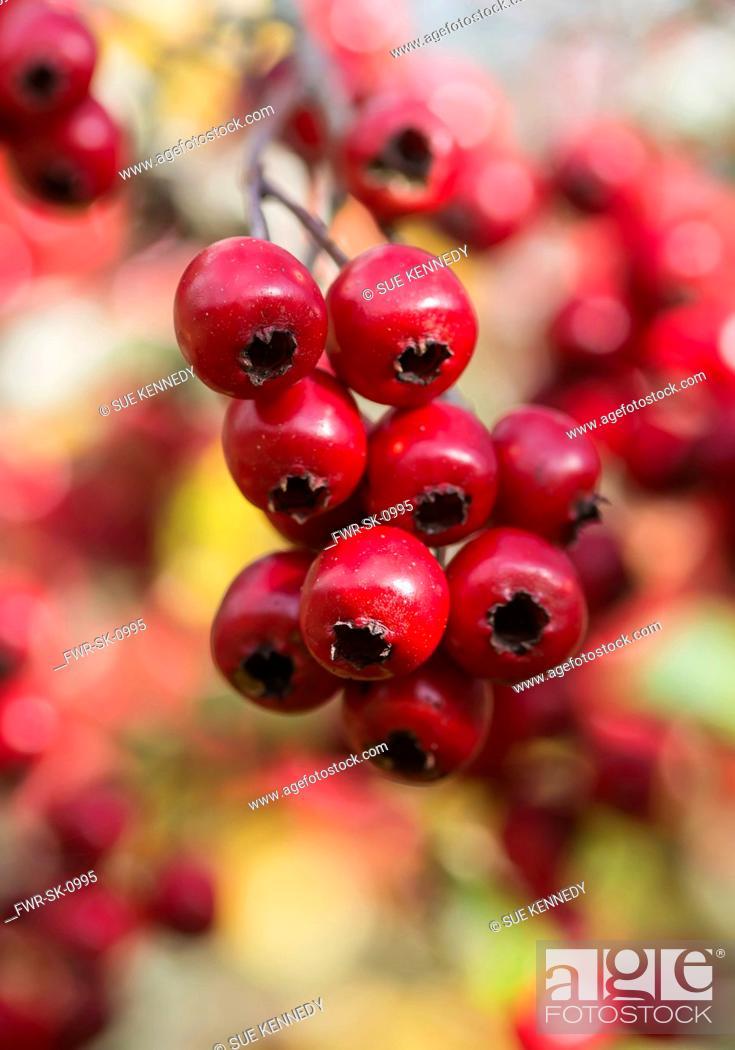 Imagen: Hawthorn, Common hawthorn, Crataegus monogyna, Detail of red berries growing outdoor.