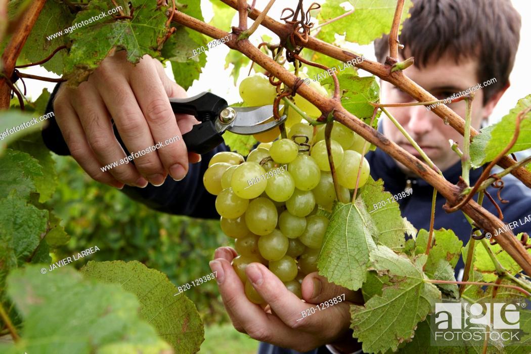 Stock Photo: White grapes of 'txakoli', vineyards, Olaberria, Gipuzkoa, Euskadi, Spain.