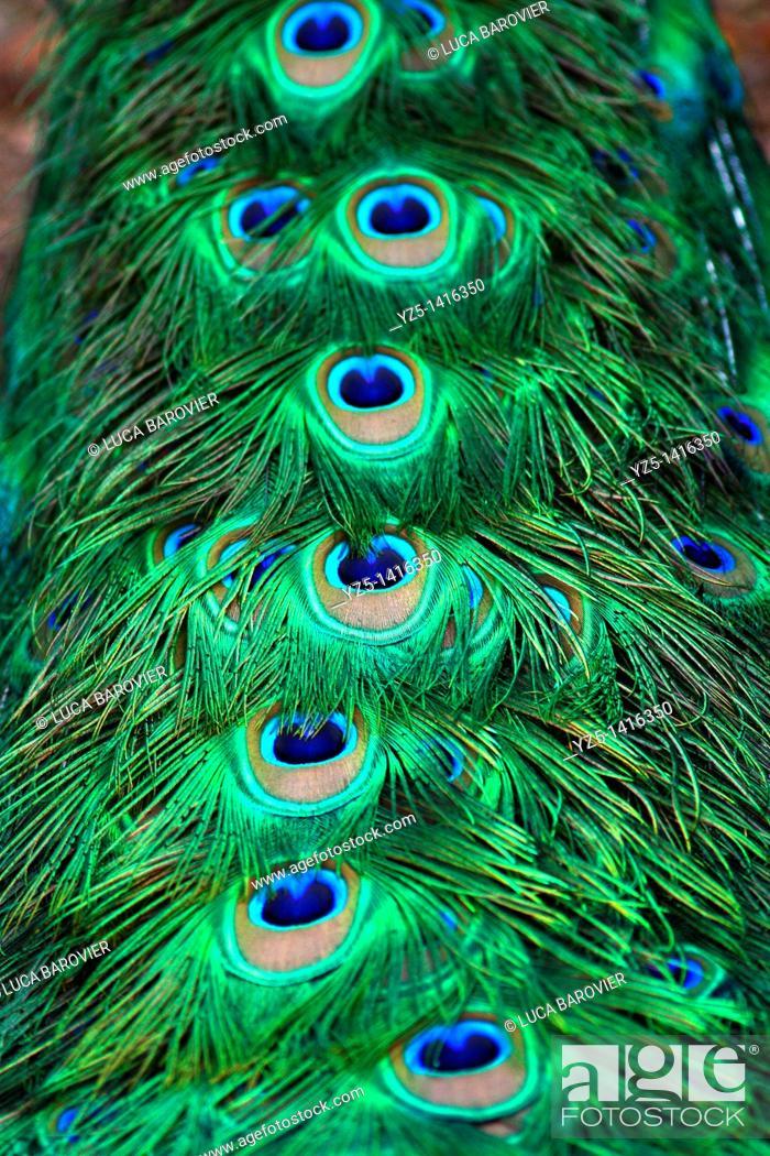 Stock Photo: Peacock, Pavo cristatus - Close-up of tail.