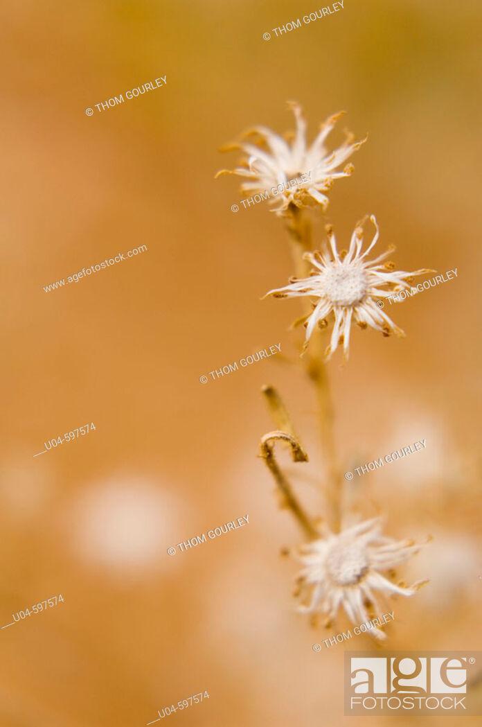 Stock Photo: Desert wildflowers.