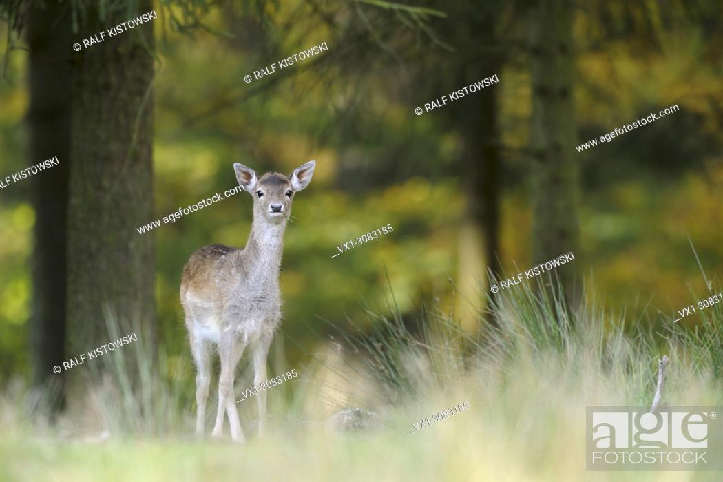 Stock Photo: Fallow Deer ( Dama dama ), shy young, standing at the edge of an autumnal colored mixed forest, looks alert, Europe.