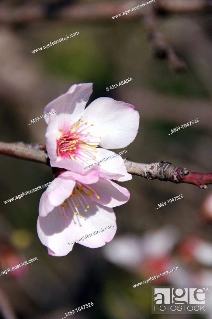 Stock Photo: almendro en flor, Mallorca.