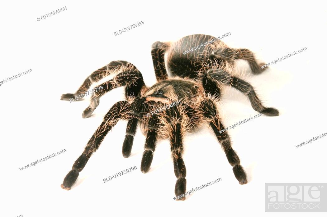 Stock Photo: close-up, animals, CLOSE, black, araneae, alfred.