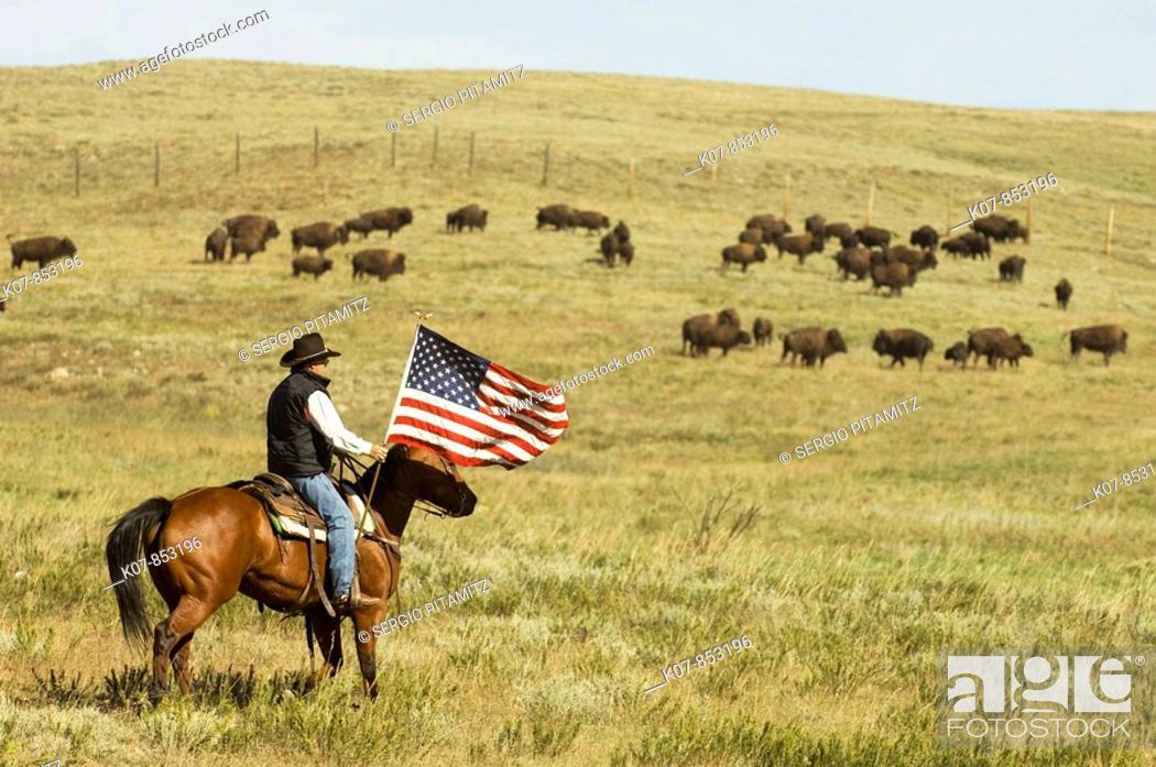 Stock Photo: Cowboy at Bison Roundup, Custer State Park, Black Hills, South Dakota, USA.