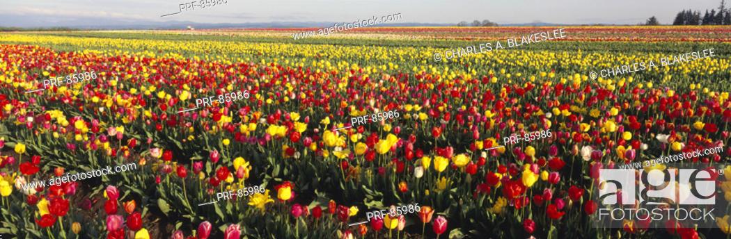 Stock Photo: Tulip Field Willamette Valley OR.
