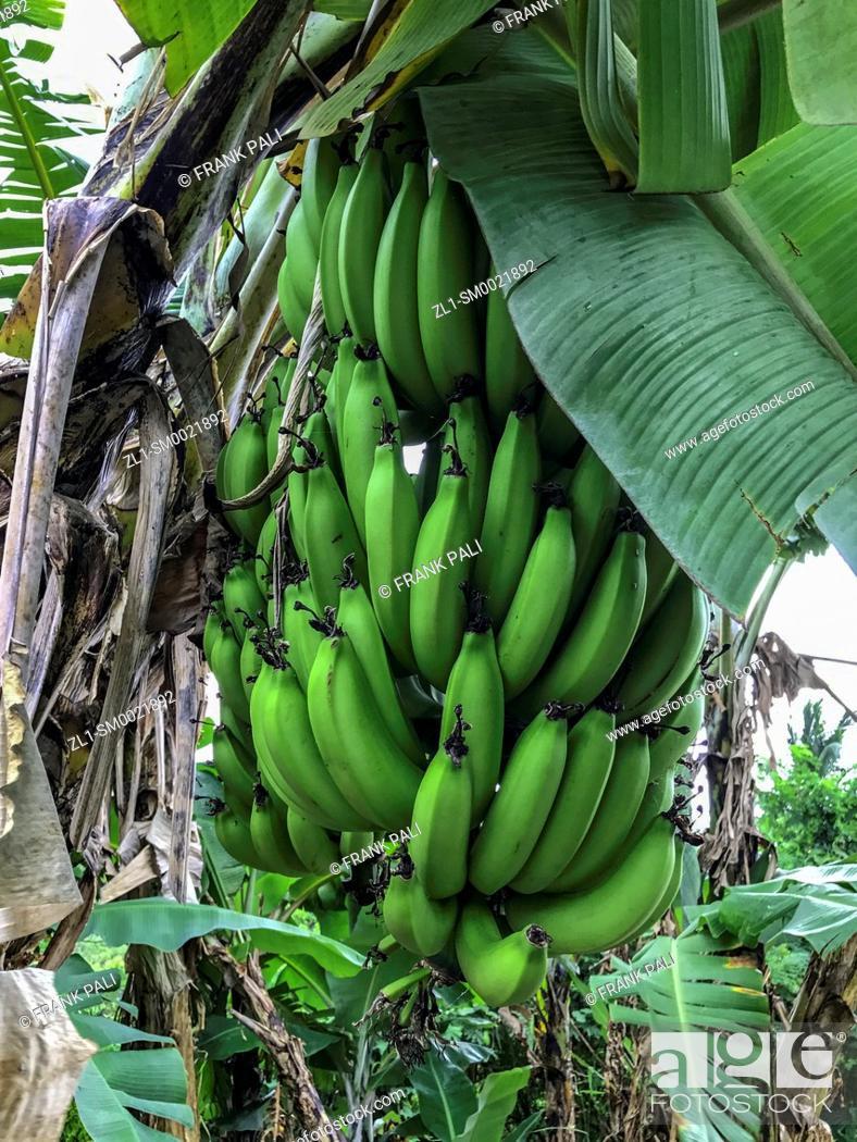Stock Photo: Bananas in the tree Maui, Hawaii.