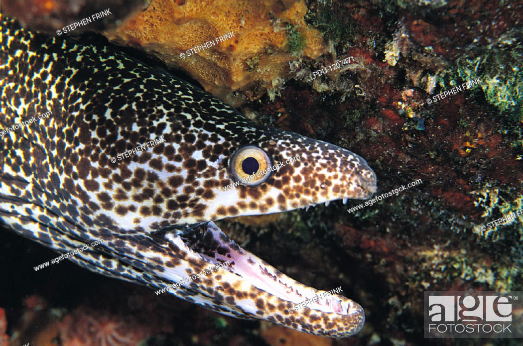 Stock Photo: Spotted Moray Eel.