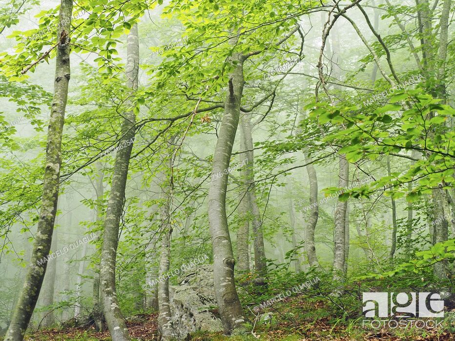 Stock Photo: Misty beech forest (Fagus sylvatica) at Coll Sesferreres site. Summer time at Montseny Natural Park. Barcelona province, Catalonia, Spain.