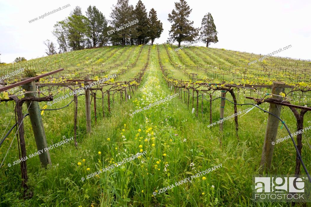 Stock Photo: Wildflowers in bloom during the early Spring at a winery vineyard in Sonoma Valley California.