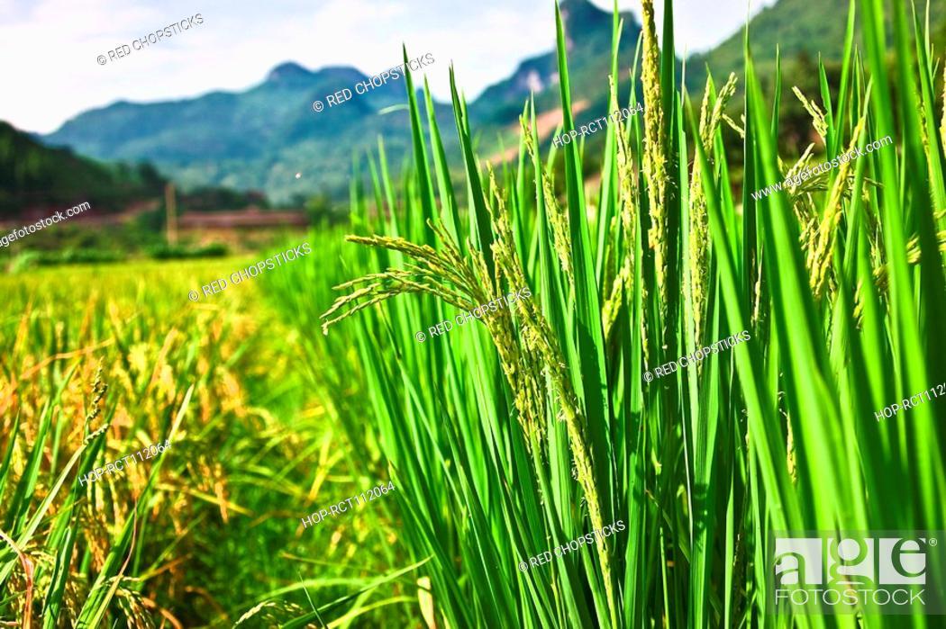 Stock Photo: Rice crop in a field, XingPing, Yangshuo, Guangxi Province, China.