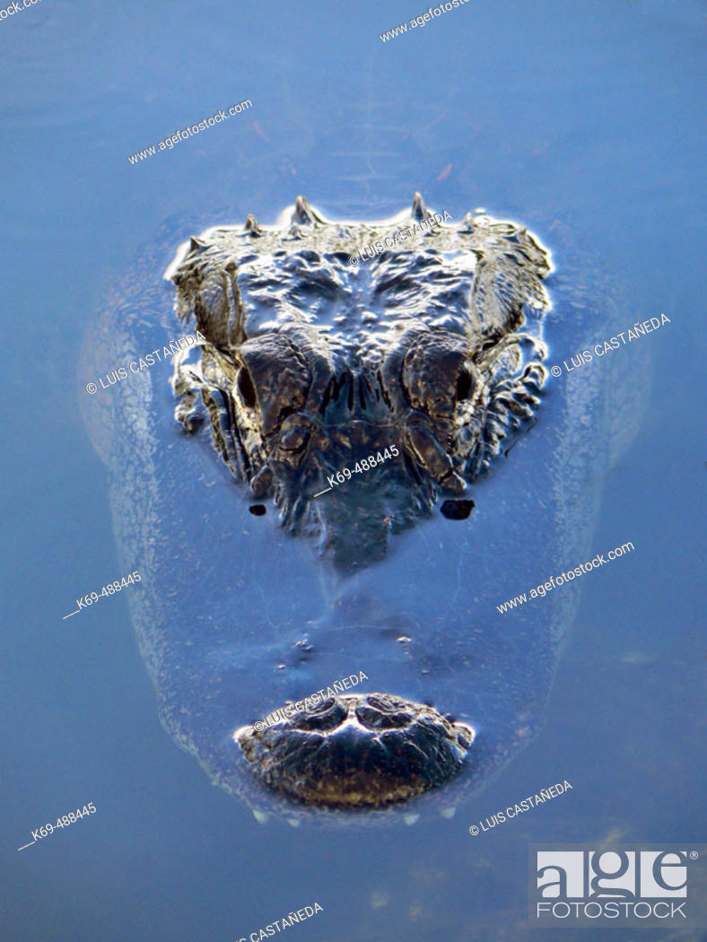 Stock Photo: Alligator head (Alligator mississippiensis). Florida, USA.