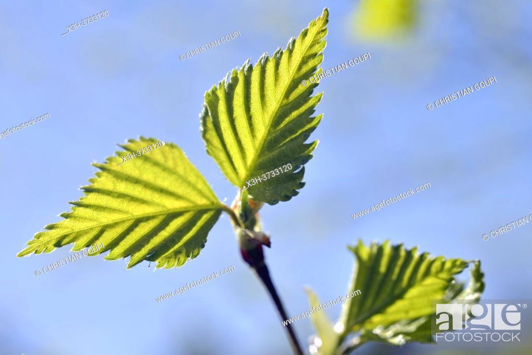 Stock Photo: Young leaves of birch tree, Eure-et-Loir department, Centre-Val-de-Loire region, France, Europe.