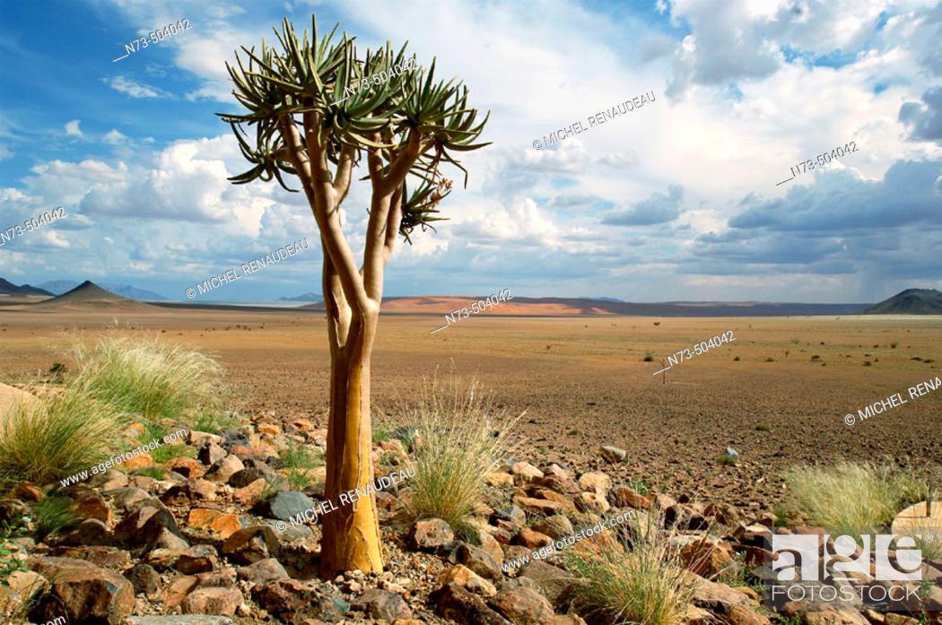 Stock Photo: Quiver tree. Sossusvlei Lodge. Sossusvlei. Namibia.