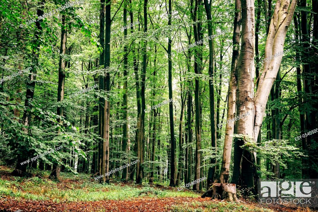 Stock Photo: European beech, fagus sylvatica, woodland in Rugen Island. Germany.