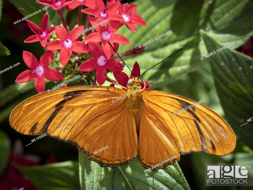 Imagen: Close-up of an orange Julis Butterfly (Dryas iulia) on a red flower.