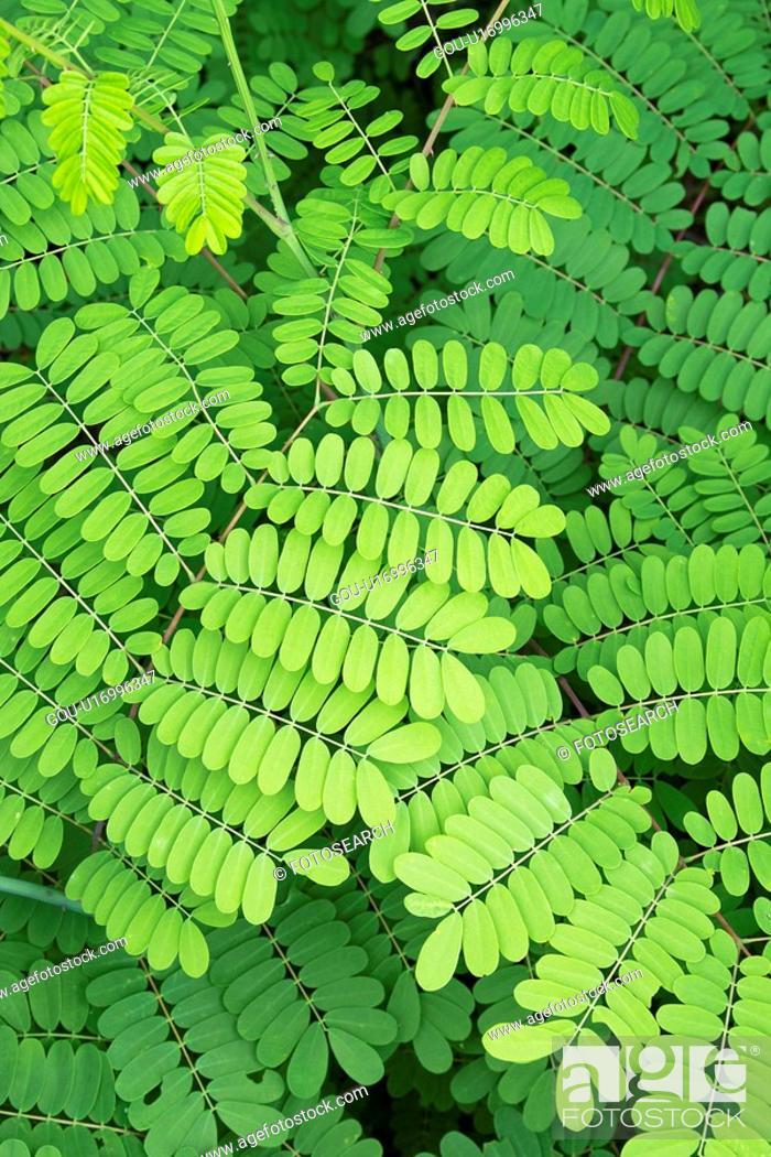 Stock Photo: Locust tree.