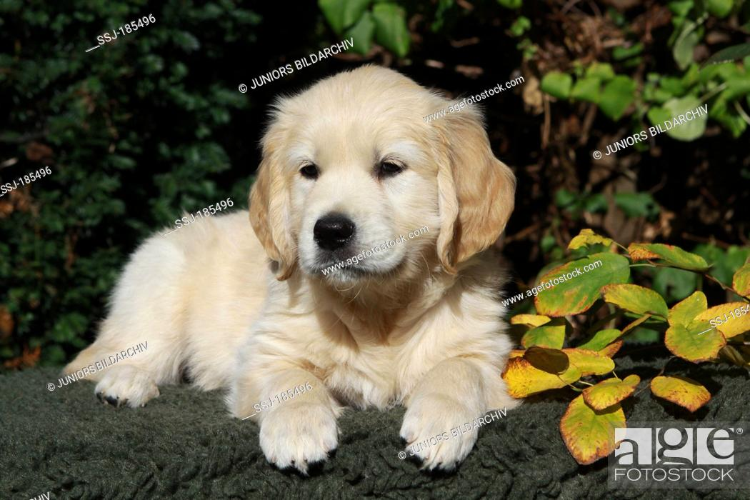 Golden Retriever Male Puppy 7 Weeks Old Lying Next To Autumn