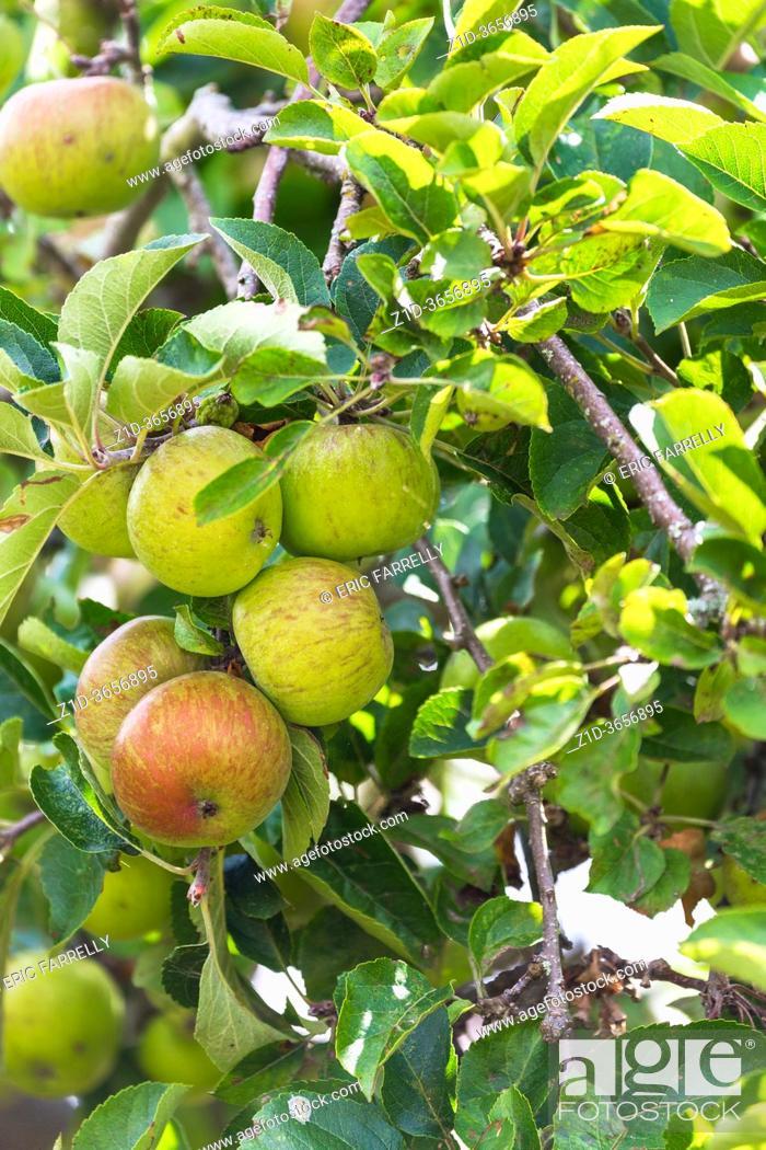 Imagen: Apples . fresh fruit growing in garden. England UK.