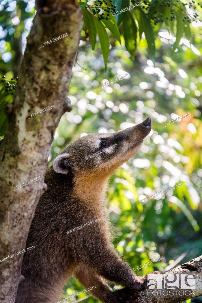 Stock Photo: Coati, Foz do Iguacu National Park, Brazil.