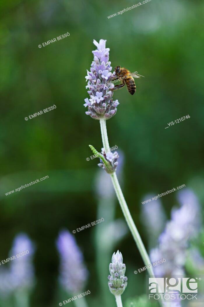 Imagen: lavender flowers with a bee, lavandula angustifolia.