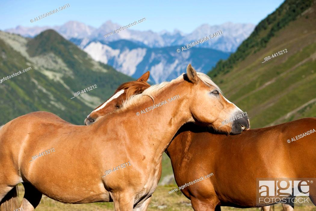 Stock Photo: Haflinger horses grooming Kühtai, Tyrol, Austria.