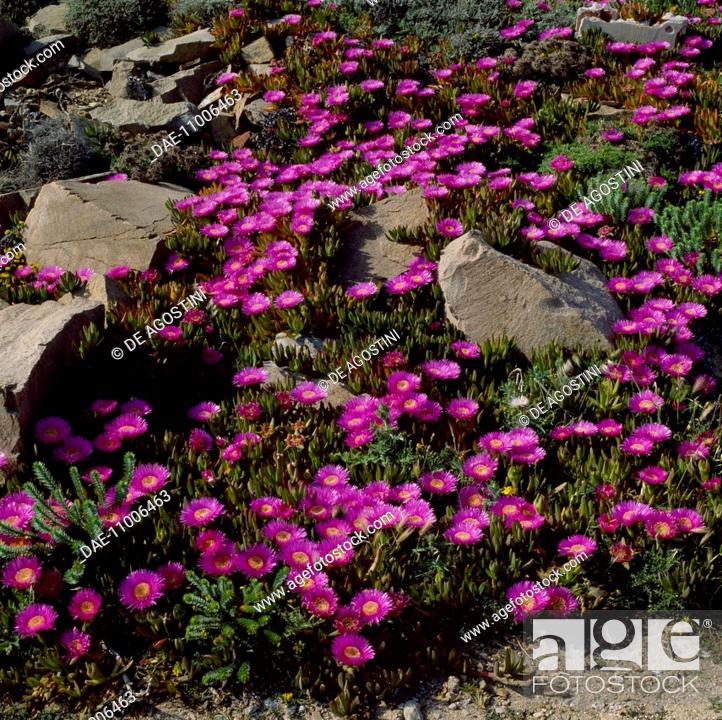 Imagen: Pigface, ice plant or Hottentot plant (Carpobrotus acinaciformis), Aizoaceae, Caprera island, Sardina, Italy.
