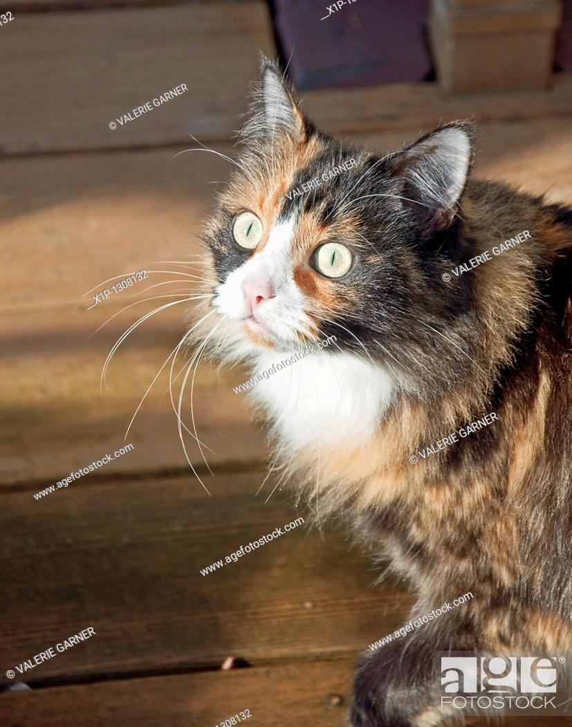 Stock Photo: This pet portrait is a closeup of a green eyed calico kitty wiht black and tan long fur Background intentionally blurred to emphasize subject.