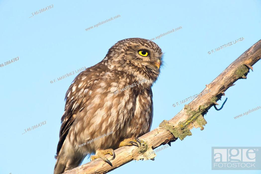 Stock Photo: European owl or common owl (Athene noctua). Photographed in the Regional Park of Guadarrama. Madrid.