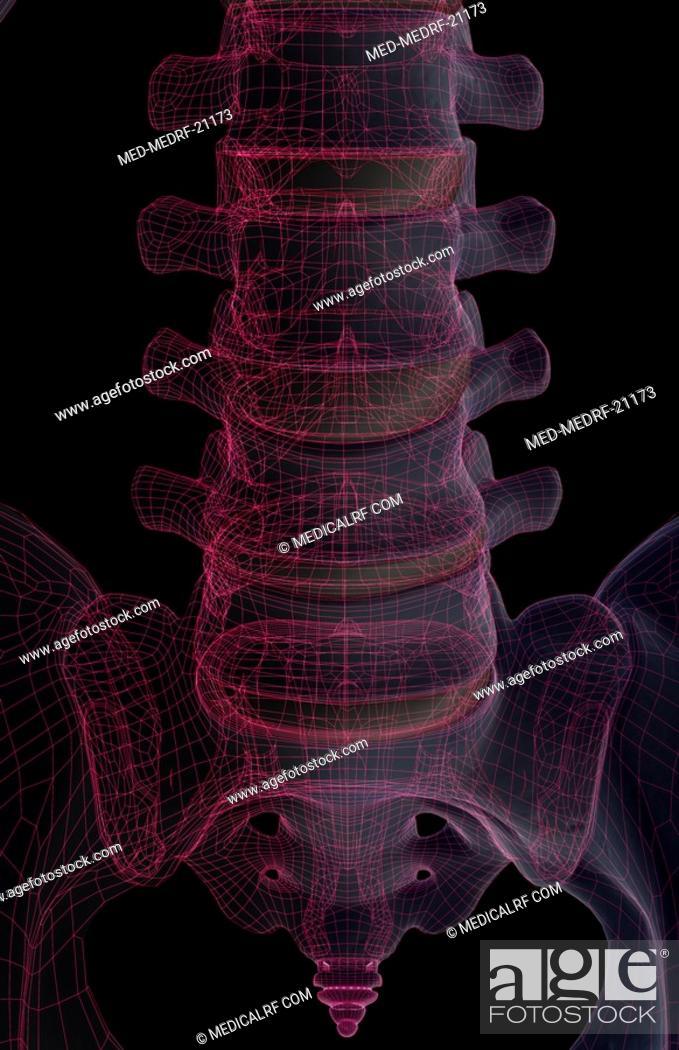 Stock Photo: The bones of lumbar vertebrae.