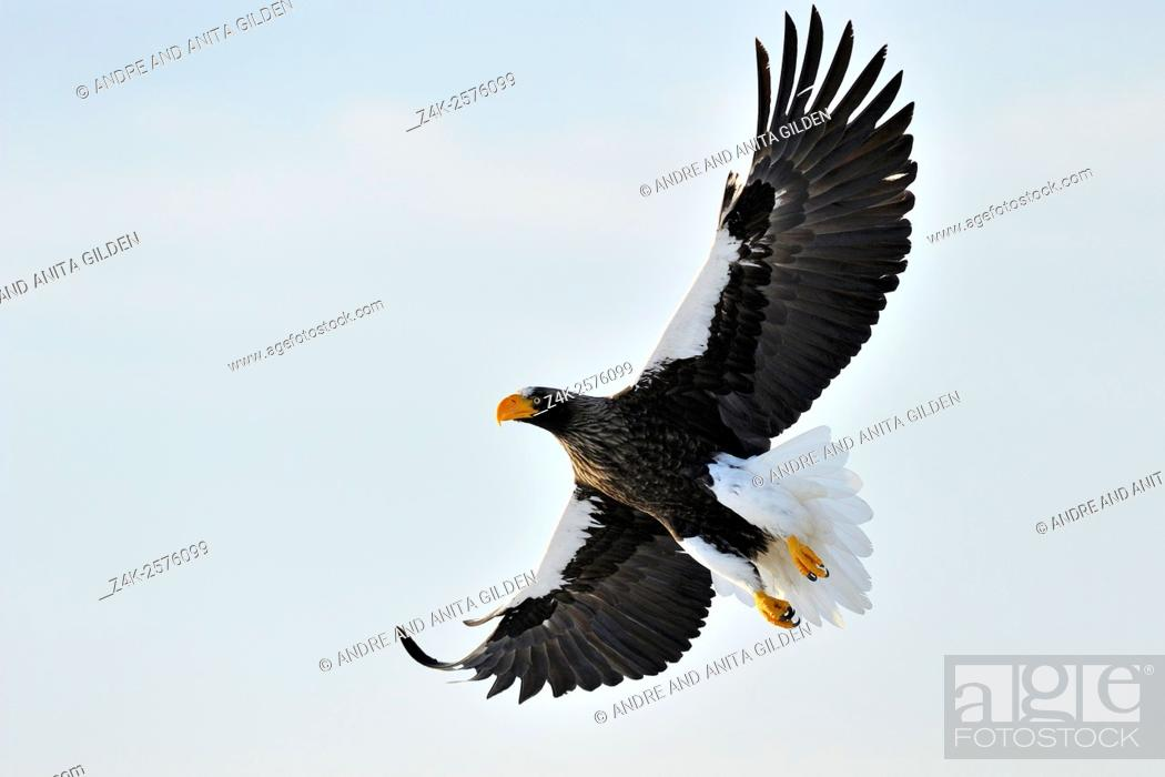 Stock Photo: Steller's Sea Eagle (Haliaeetus pelagicus) in flight against white sky, Rausu, Hokkaido, Japan.