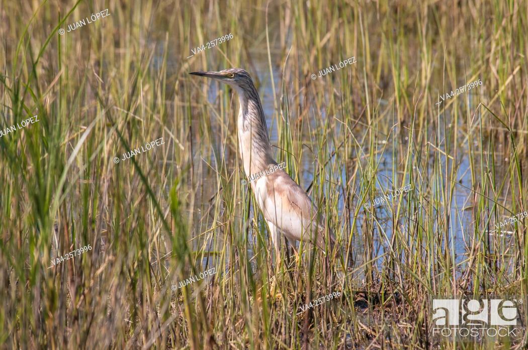 Stock Photo: Squacco heron (Ardeola ralloides). El Remolar, Viladecans, Barcelona province, Spain.
